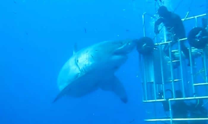 Tubarão-branco gigante foi filmado em mergulho na Ilha Guadalupe, no Caribe (Foto: Reprodução/Facebook/Mauricio Hoyos Padilla)